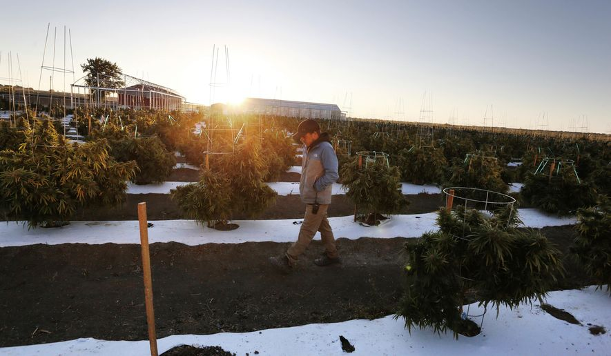 In this Oct. 10, 2016 photo, agronomist Sean Babson walks between rows of the crop at Los Suenos Farms, America's largest legal open air marijuana farm, in Avondale, southern Colo. For the fall 2016 harvest, the 36-acres are expected to yield 5 to 6 tons. (AP Photo/Brennan Linsley)