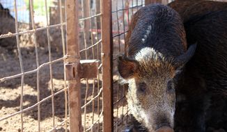 In this photo taken Oct. 20, 2016, feral hogs are enclosed at Jason Bond's ranch near Snyder, Texas. Feral hogs cause their share of trouble but if you like bacon and pork chops, Texas' pig problem has a swine solution. (Josie Musico/Lubbock Avalanche-Journal via AP)