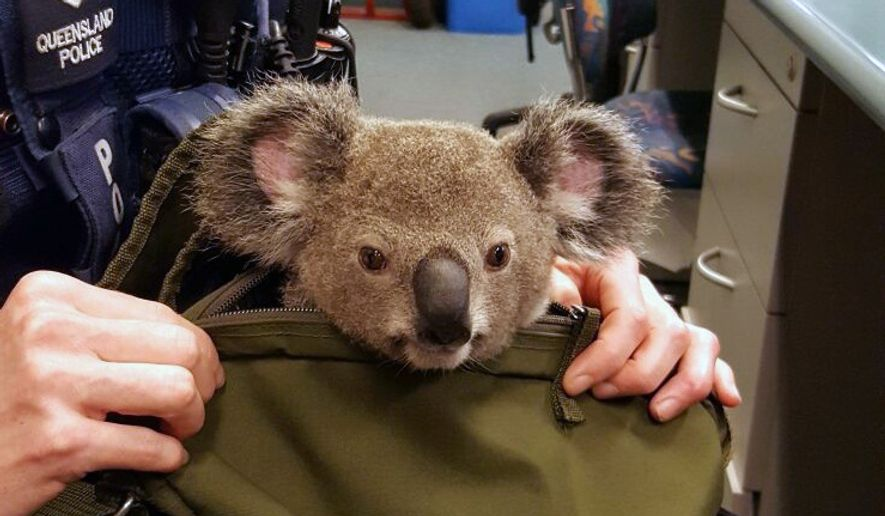 """In this photo provided by Queensland Police Service and taken on Sunday, Nov. 6, 2016, a koala looks out from a handbag at a police station in Brisbane, Australia. Australian police have made an unusual find while searching the bag of a woman who was being arrested: a baby koala. Police in Brisbane said that when they asked the 50-year-old woman if she had anything to declare Sunday night, she handed over a zipped canvas bag that she said contained a baby koala. The woman, who was arrested on """"outstanding matters,"""" said she found the male koala on Saturday night and had been caring for it since. (Queensland Police Service via AP)"""