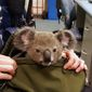 In this photo provided by Queensland Police Service and taken on Sunday, Nov. 6, 2016, a koala looks out from a handbag at a police station in Brisbane, Australia. (Queensland Police Service via AP) ** FILE **