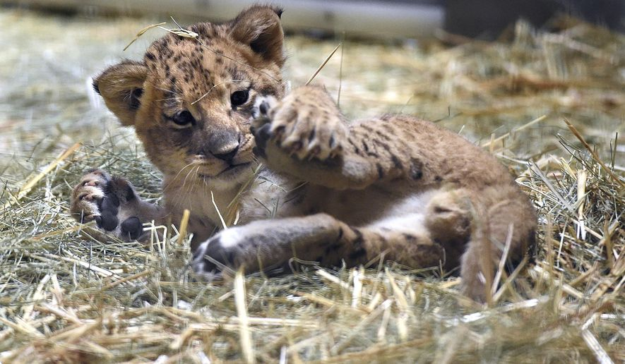 This Nov. 17, 2016 photo shows a 5-week-old lion plays with his leg in the hay of his enclosure at the Fresno Chaffee Zoo, in Fresno, Calif. The zoo is showing off a new lion cub and asking zoo-goers to choose his name. (John Walker/The Fresno Bee via AP)