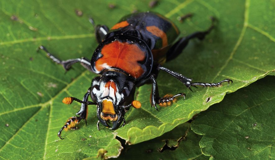This 2010 photo provided by the St. Louis Zoo shows an American burying beetle. A colorful beetle that was once common in southwest Missouri is showing signs of a comeback, thanks to a joint effort by the St. Louis Zoo and conservation organizations. (Ray Meibaum/St. Louis Zoo via AP)