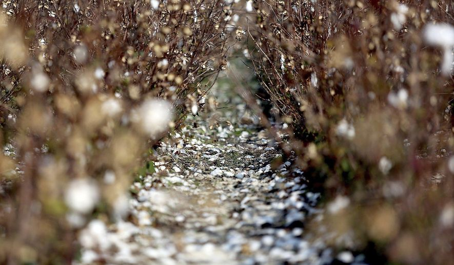 ADVANCE FOR SATURDAY, NOV. 18 AND THEREAFTER - A Friday, Nov 11, 2016 photo shows cotton plants damaged by Hurricane Matthew at Ronald Rabon's Double R Farms in Aynor, SC. Rabon said he yielded only 100 acres of 700 acres of cotton this year because of the wind and rain from the storm. The wind blew most of the crop from the plants. The rain forced the rest on the plants to hard lock, not blossom, so it was a loss too. (Janet Blackmon Morgan/The Sun News via AP)