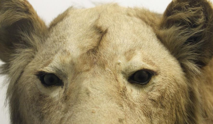 This Nov. 16, 2016 photo shows a male lion in the Museum of Natural History in the University of Iowa's Macbride Hall in Iowa City, Iowa. The animal once roamed the City Park Zoo in Iowa City. ( David Scrivner/The Iowa City Press-Citizen via AP)