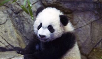 """In this Jan. 16, 2016 file photo, giant panda cub Bei Bei roams in his pen as he goes on public exhibit for the first time at the National Zoo, in Washington. The Smithsonian National Zoo said Bei Bei is recovering following surgery to remove a """"lemon-sized mass of bamboo"""" from his small intestine. The Smithsonian said in a statement that the """"life-saving"""" surgery was performed Friday, Nov. 25. (AP Photo/Jose Luis Magana, File) **FILE**"""