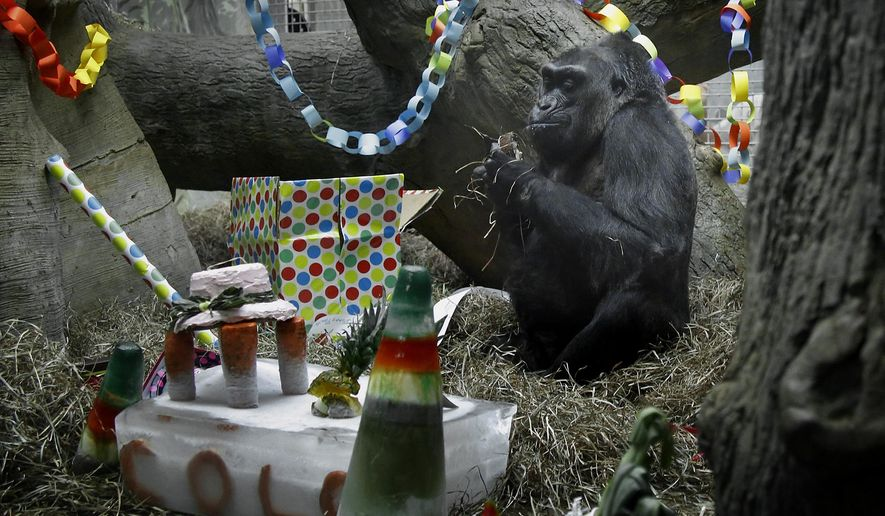 FILE - In this Dec. 22, 2015 file photo, Colo sits in her enclosure during her 59th birthday party at the Columbus Zoo and Aquarium in Powell, Ohio.   The oldest known gorilla living in a zoo, a female named Colo, is slated to undergo a surgical biopsy sometime soon ahead of her 60th birthday on Dec. 22, 2016. The Columbus Zoo and Aquarium in Ohio says veterinarians have been monitoring a mass under Colo's arm that recently started causing her discomfort, so they want to take tissue samples to determine the cause and possible treatment. She'll also be getting a thorough medical check-up.(Tom Dodge/The Columbus Dispatch via AP)