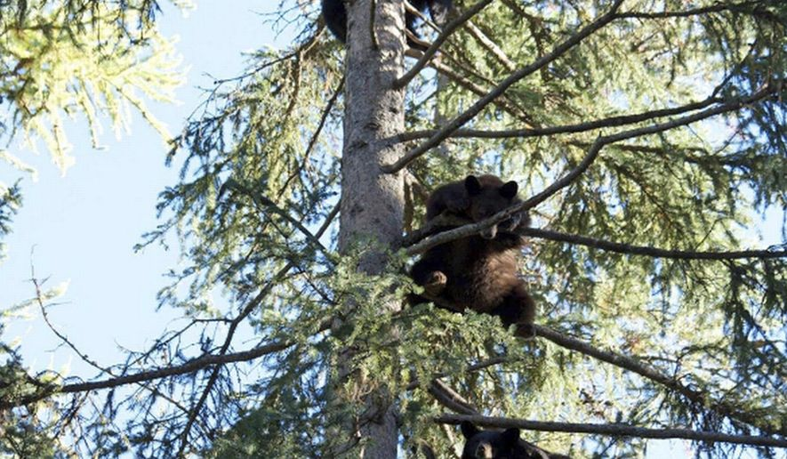 This undated photo provided by Snowdon Wildlife Sanctuary, shows a bevy of bear cubs in a tree at the Sanctuary near McCall, Idaho. Snowdon rehabs all kinds of animals and releases them back into the wild but has become known for its bear cubs. (Snowdon Wildlife Sanctuary via AP)