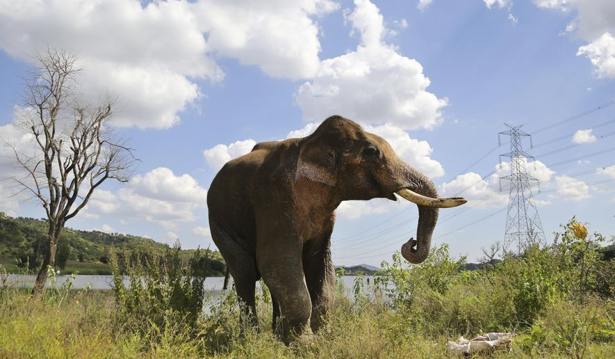 In this Oct. 6, 2016, photo, an injured male Asiatic elephant, known as Sidda, attempts to reach out to a bunch of bananas thrown towards him by a forest guard in the backwaters of the Manchinbele Dam, outskirts of Bangalore, India. Sidda, a partially blind wild elephant, who had taken refuge in the backwaters of the dam  after he broke his right leg while being chased by villagers late August died Friday. (AP Photo/Aijaz Rahi)