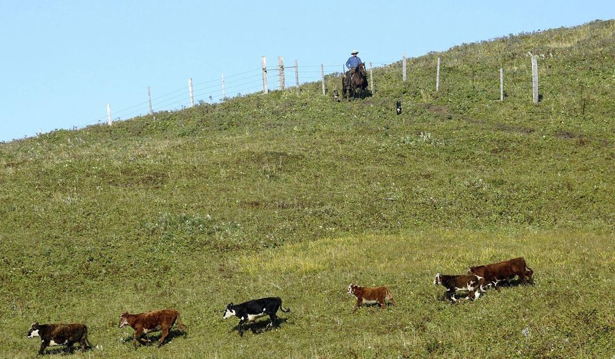 FILE--In this Sept. 13, 2003, file photo, a ranch hand and dog drive cattle to a corral on Chirikof Island, in Alaska. Federal wildlife managers say funding continues to be shut off for their longstanding efforts to remove more than 2,000 feral cattle from Alaska's Chirikof Island. (AP Photo/Al Grillo, file)