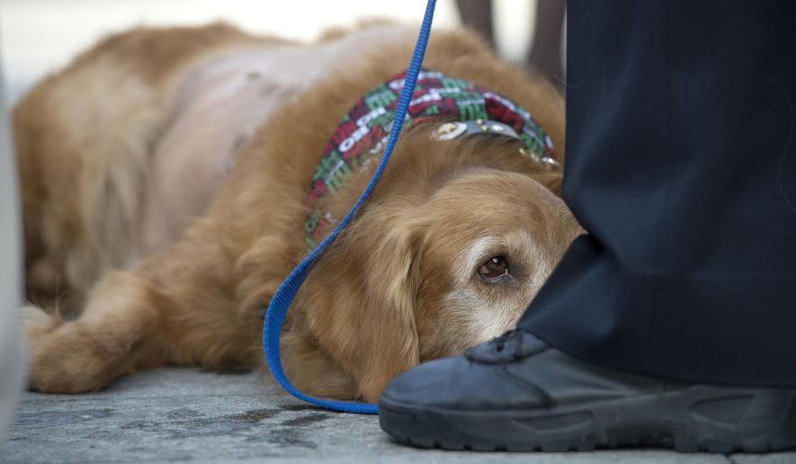 Henry, a golden retriever, attends an animal cruelty press conference in Newport Beach, Calif., on Wednesday, Dec. 14, 2016. Henry, a 7-year-old golden retriever suffering from a 42-pound malignant tumor, was abandoned at an animal hospital by his owner, who is accused of claiming she found the dog at a beach. The Newport Beach Police Department, Animal Control, Orange County District Attorney's Office, Orange County Society for the Prevention of Cruelty to Animals (OCSPCA), and Supervisor Michelle Steel held a news conference tomorrow to discuss the consequences of animal cruelty and the resources available to citizens who find themselves unable to provide care for their pets due to various circumstances. (Jeff Gritchen/The Orange County Register via AP)