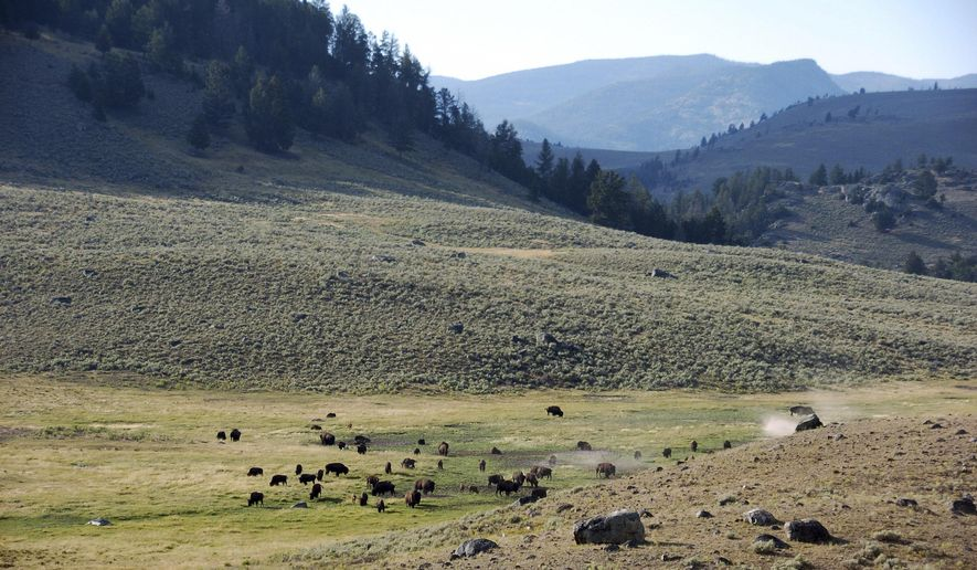 FILE - In this Aug. 26, 2016, file photo, a herd of bison appears in Yellowstone National Park's Lamar Valley in Montana. For conservatives who have long believed federal managers of America's vast public lands put more value on endangered owls than people and jobs, Donald Trump's election raises hopes for significant increases in oil and gas drilling, mining, grazing, timber harvesting and perhaps even a shift of control to state or local governments. (AP Photo/Matthew Brown, File)