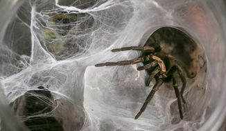 Tarantulas are the heaviest, hairiest, scariest spiders on the planet. U.S. breeders of these spiders are fretting over a petition to list five species as endangered under the Endangered Species Act, fearing that the move would actually hurt the population. (Associated Press)