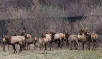 Elk stand in a holding pen at the Tomblin Wildlife Management Area in Logan County, Holden, W.Va., on Monday, Dec. 19, 2016. On land where coal was once mined, officials have trumpeted the return of the elk herd to West Virginia for the first time in 141 years. (John McCoy  /Charleston Gazette-Mail via AP)