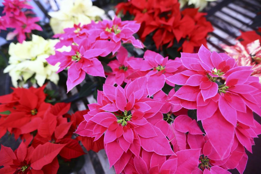 In this Dec. 13, 2016 photo, a variety of Christmas poinsettias grow in a climate controlled greenhouse at the Forest Lake Greenhouses in Effingham, S.C. (Joshua Lloyd/The Morning News via AP)