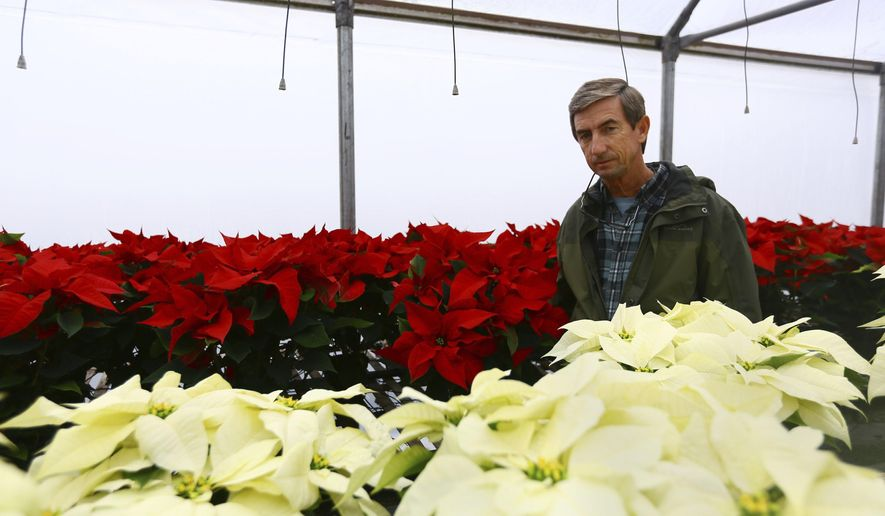 In this Dec. 13, 2016 photo, Tim King, an owner of Forest Lake Greenhouses, shows off some of their Christmas poinsettias in a climate controlled greenhouse in Effingham, S.C. (Joshua Lloyd/The Morning News via AP)