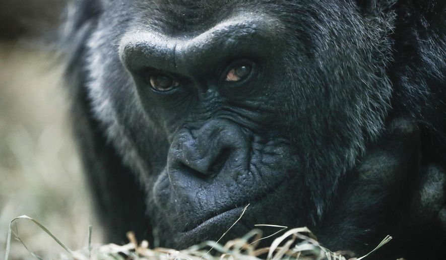 FILE - In this Dec. 15, 2016 file photo, Colo, a western lowland gorilla, rests in her enclosure at the Columbus Zoo, in Columbus, Ohio. Colo, the very first born and oldest surviving gorilla in captivity will celebrate her 60th birthday on Thursday, Dec. 22. (AP Photo/John Minchillo,File)