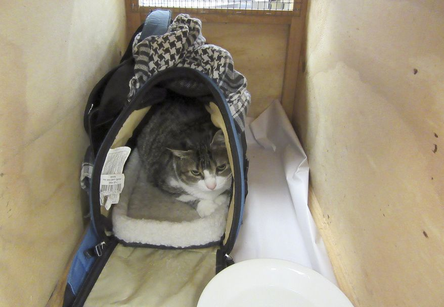 In this Wednesday, Dec 21, 2016 photo provided by Ministry for Primary Industries, Bella, a 4-year-old pet cat belonging to a Canadian woman who authorities say managed to hide her in a handbag during a flight across the Pacific Ocean sits in a cage in New Zealand's Auckland Airport. The woman was refused entry into the New Zealand and was forced to catch the next flight home with her cat after she tried to smuggle it across the border. (Ministry for Primary Industries via AP)
