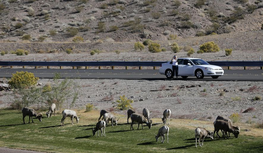 FILE - In this Friday, Nov. 8, 2013 file photo, 30 miles from the Las Vegas Strip, a motorist stops to take photos of a herd of big horn sheep grazing along U.S. Highway 93, in Boulder City, Nev. Wildlife officials say a recent count found more wild desert bighorn sheep lambs this year than last year in the River Mountains of southern Nevada. But the herd is still struggling with an outbreak of bacterial pneumonia that researchers say the animals have no natural way to fight. (AP Photo/Julie Jacobson, File)