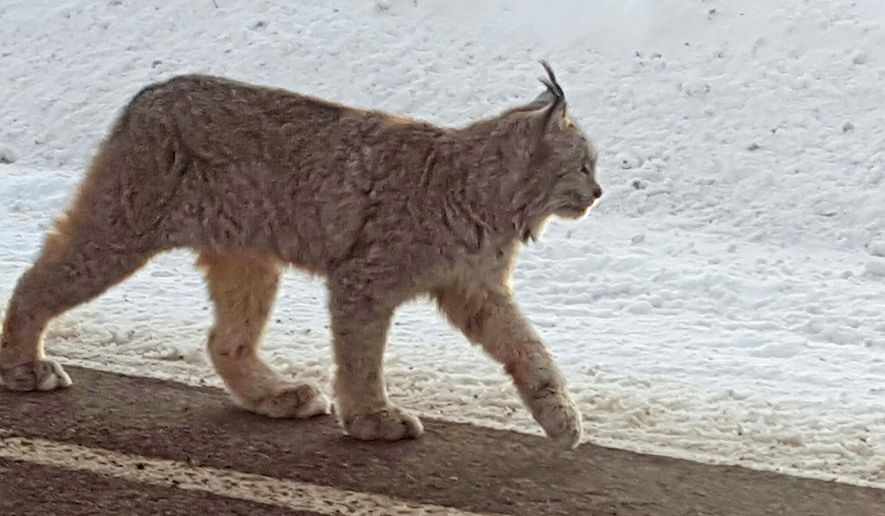 This Dec. 15, 2016 photo provided by Dontje Hildebrand shows a lynx walking along a highway in Molas Pass outside of Silverton in southwestern Colorado. Only about 50 to 250 lynx are believed to be living in the wild in Colorado, and sightings are rare. They were native to Colorado but virtually disappeared from the state by the 1970s because of hunting, poisoning and development. (Dontje Hildebrand via AP)