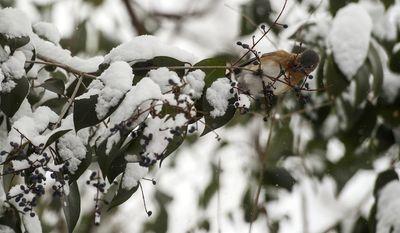 A female Eastern Bluebird pecks at a bud on a snow covered tree along Norfolk Ave. on Saturday, Jan. 7, 2017 in Lynchburg, Va. (Photo by Jay Westcott/News & Daily Advance via AP)