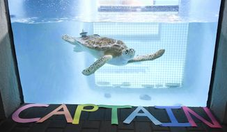 In this Wednesday, Jan. 4, 2017 photo, a sea turtle named Captain swims in her tank at Mote Marine in Sarasota, Fla., Captain has been at Mote Marine, since 2014 so that she could be rehabilitated and work on her diving and floating skills after being hit by a boat many years ago. She now has weights on the back of her shell to help her but she will never be able to be released back into the wild. She was transferred to Broward County's yet-to-open Carpenter House Marine Environmental Education Center on Jan. 4. (Rachel O'Hara/Sarasota Herald-Tribune via AP)