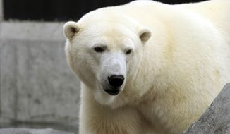 Polar bears are not disappearing as some scientists have projected, research shows. (Associated Press/File)