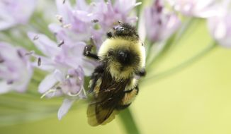 This 2012 photo provided by The Xerces Society shows a rusty patched bumblebee in Minnesota. Federal officials said Tuesday, Jan. 10, 2017, that the rusty patched bumblebee has become the first bee species in the continental U.S. to be declared endangered after suffering a dramatic population decline over the past 20 years. (Sarina Jepsen/The Xerces Society via AP)