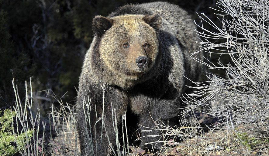 FILE - In this May 4, 2009 file photo, a Grizzly bear is seen in Yellowstone National Park near Mammoth Wyoming. Federal officials are delaying their decision on whether to lift protections for more than 700 grizzly bears in and around Yellowstone National Park and allow hunting. (David Grubbs,/Billings Gazette via AP. File)