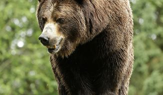 FILE -- In this June 2, 2016, file photo, a grizzly bear at the Woodland Park Zoo waits for a salmon to be tossed to him in Seattle. Grizzly bears once roamed the rugged landscape of the North Cascades in Washington state but few have been sighted in recent decades. Federal officials want to restore the population, and on Thursday, Jan. 12, 2017, released a draft plan with four options, ranging from taking no action to varying efforts to capture bears from other locations and transplant them to 9,800 square miles of mostly public land surrounding North Cascades National Park. (AP Photo/Ted S. Warren, File)