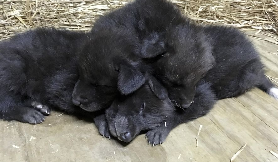 This Jan. 3, 2017 photo provided by the Little Rock Zoo shows three maned wolf cubs, one male and two females, resting at the zoo in Little Rock, Ark. The zoo announced Wednesday, Jan. 11, 2017, the pups were born Dec. 21. The animals are native to South America. (Kate Barszczowski/Little Rock Zoo via AP)