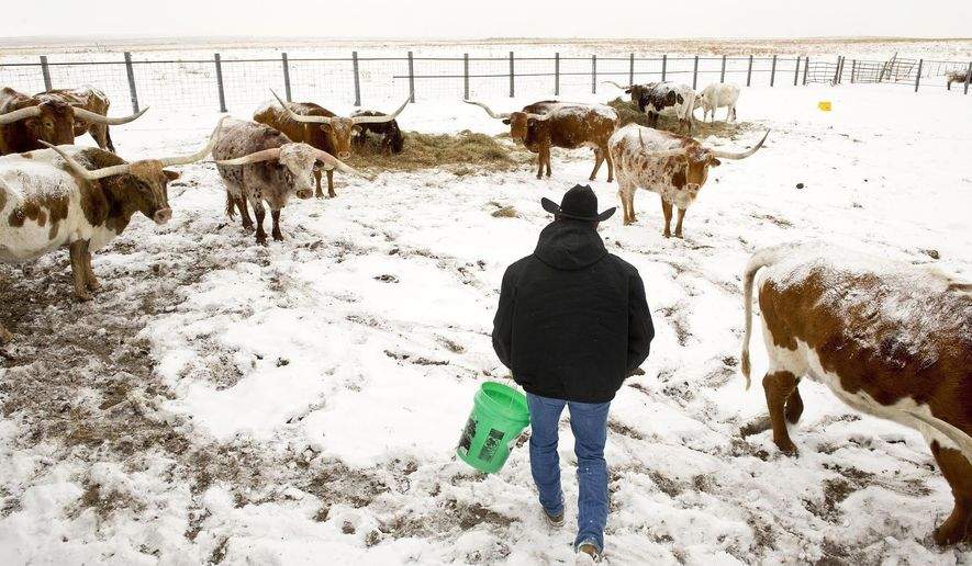"ADVANCE FOR WEEKEND EDITIONS - In this Jan. 5, 2017, photo, rancher Gary Lake feeds a dietary supplement to some of his herd of Texas Longhorn cattle in eastern El Paso County, Colorado. The herd is part of a beta testing program of a ""fitbit"" like chip tagged to the cattle's ear and transmits bio-data through a smartphone app. (Chuck Bigger/Daily Camera via AP)"