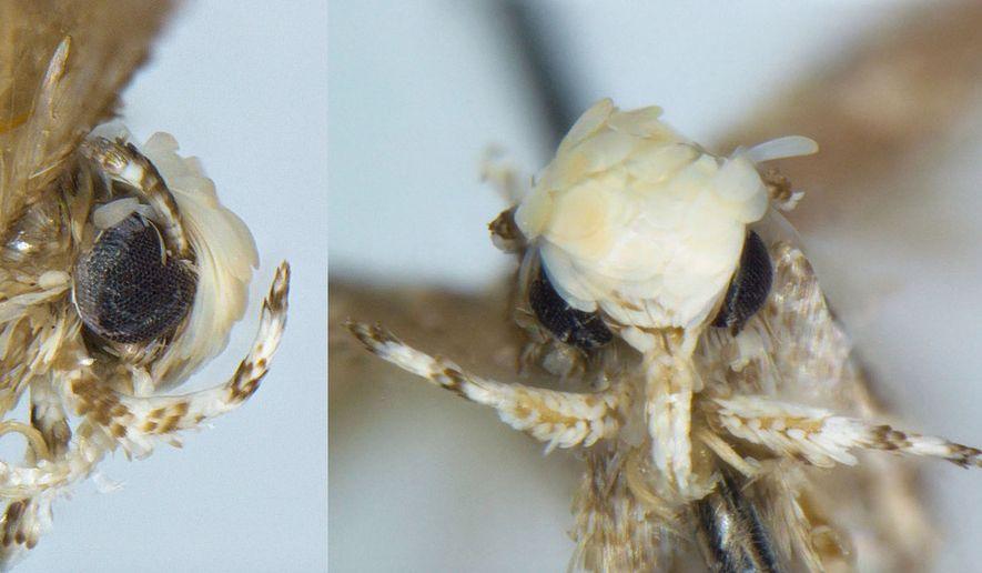 The Neopalpa donaldtrumpi moth has been named after President-elect Donald Trump. (Photo courtesy of Dr. Vazrick Nazari)