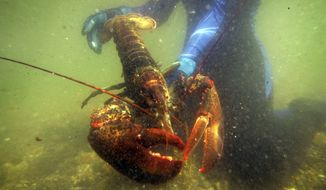 FILE - In this July 2007, file photo, a scientist holds a lobster underwater on Friendship Long Island, Maine. Officials with Sweden told The Associated Press in January 2017 that their country is working on a new proposal about how to deal with American lobsters that turned up in Swedish waters. Sweden had asked the European Union in March 2016 to bar imports of live American lobsters into the 28-nation bloc after 32 American lobsters were found in Swedish waters. (AP Photo/Robert F. Bukaty, File)