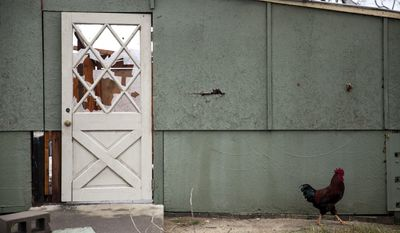 A rooster walks by a damaged building on a farm that was hit by a tornado, Sunday, Jan. 22, 2017, in Adel, Ga. (AP Photo/Branden Camp)