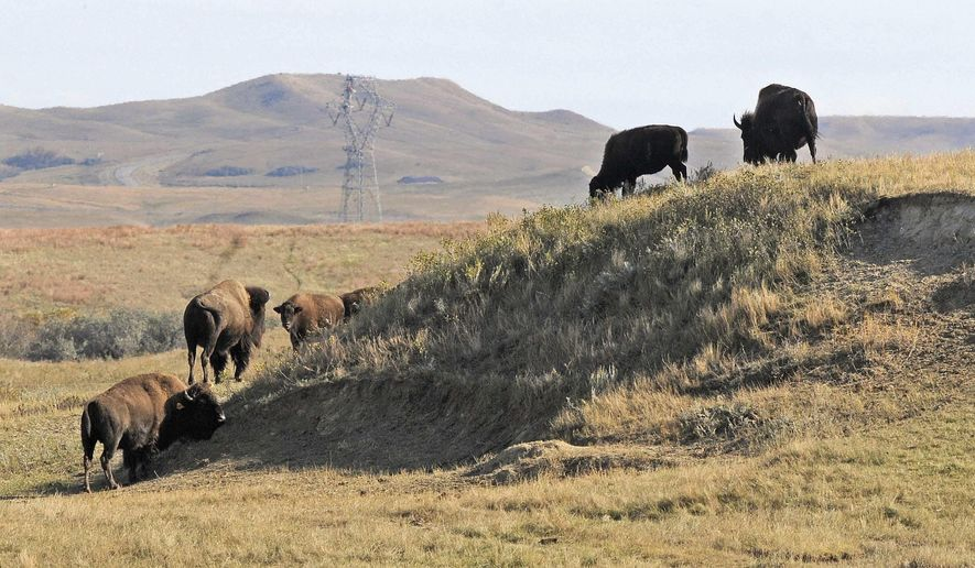In an Oct. 10, 2016 photo, a group of bison graze a native grassland pasture in the rolling hills of Cannonball Ranch in Morton County south of Mandan, N.D. Hundreds of buffalo are under quarantine in North Dakota and South Dakota after an illegal poison was used to kill prairie dogs. (Tom Stromme/Bismarck Tribune via AP)
