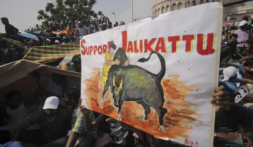 A protestor holds a placard supporting Jallikattu, a traditional bull-taming sport banned by India's top court, as thousands gather demanding that the sport be allowed to resume unhindered at the Marina beach in Chennai, India, Sunday, Jan.22, 2017. The sport was performed in parts of southern India on Sunday after Tamil Nadu state government signed an executive order Saturday allowing Jallikattu contests to take place Sunday. (AP Photo)