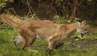 FILE - In this May 23, 2012, file photo, an approximately 2-year-old female cougar runs away from a Washington Department of Fish and Wildlife trap after being released northeast of Arlington, Wash. Cougars prowling near the remote community of La Pine, Ore., have killed two pets and at least 12 chickens, and are stoking fear in the community spread out in the piney woods of Central Oregon just east of the Cascade Range. (Mark Mulligan/The Daily Herald via AP, File)