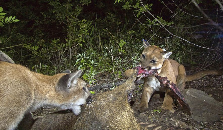 Los angeles freeway claims 3rd mountain lion in 2 months file this may 30 2015 file photo from a national park service remote camera spiritdancerdesigns Choice Image