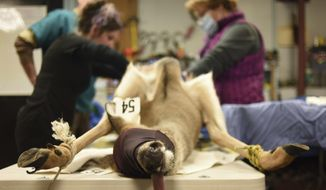 In a Friday, Jan. 27, 2017 photo, a deer receives an ovariectomy inside a makeshift operating room in a maintenance shed at the city-owned Huron Hills Golf Course in Ann Arbor, Mich. Veterinarians performed sterilization surgeries on 54 does over the last week as part of the nonlethal phase of the city's winter 2017 deer management plan. The tongue is left hanging out so the deer does not choke. (Ryan Stanton/The Ann Arbor News via AP)