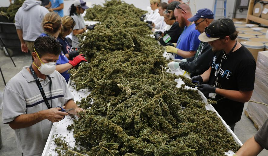 FILE- In this Oct. 4, 2016, file photo, farmworkers remove stems and leaves from newly-harvested marijuana plants, at Los Suenos Farms, America's largest legal open air marijuana farm, in Avondale, southern Colo. A bill headed to the state Senate would make PTSD the 10th ailment eligible for medical pot in Colorado. Passage would make Colorado the 20th state to allow doctors to recommend pot for PTSD. (AP Photo/Brennan Linsley, File)