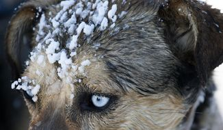ADVANCE FOR THE WEEKEND OF FEB. 4-5 AND THEREAFTER - In a Jan. 17, 2017 photo, ice builds up on the face of one of Liz Stewart's dogs after a training run in Alpine, Wyo.  Liz and her husband, John Stewart, are both avid mushers. (Bradly J. Boner/Jackson Hole News&Guide via AP)