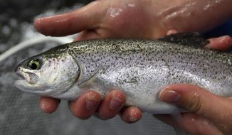In this April 28, 2009 photo shows a rainbow trout that is being reared at the Montague High School in Montague, Mich. A state judge has sided with a fish farming operation, Feb. 2, 2017, that wants to dramatically boost production of rainbow trout of Michigan's Au Sable River. A 2014 permit issued by the Department of Environmental Quality to Harrietta Hills Trout Farm was endorsed by Administrative Law Judge Daniel Pulter. It would allow the farm to produce 300,000 pounds of trout annually, up from 20,000 pounds a few years ago. (Cory Morse/Muskegon Chronicle via AP)