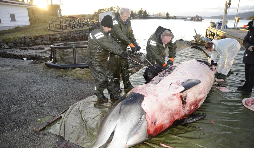 "In this handout photo from the University of Bergen taken on Tuesday, Jan. 31, 2017, researchers from the university begin dissecting a two-ton whale that was beached in shallow waters off Sotra, an island west of Bergen, some 200 kilometers (125 miles) northwest of Oslo. Norwegian zoologists have found about 30 plastic bags and other plastic waste in the stomach of a beaked whale that had beached on a southwestern Norway coast. Terje Lislevand of the Bergen University says the visibly sick, 2-ton goose-beaked whale was euthanized. Its intestine ""had no food, only some remnants of a squid's head in addition to a thin fat layer."" (University of Bergen via AP)"