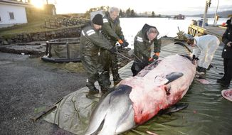 """In this handout photo from the University of Bergen taken on Tuesday, Jan. 31, 2017, researchers from the university begin dissecting a two-ton whale that was beached in shallow waters off Sotra, an island west of Bergen, some 200 kilometers (125 miles) northwest of Oslo. Norwegian zoologists have found about 30 plastic bags and other plastic waste in the stomach of a beaked whale that had beached on a southwestern Norway coast. Terje Lislevand of the Bergen University says the visibly sick, 2-ton goose-beaked whale was euthanized. Its intestine """"had no food, only some remnants of a squid's head in addition to a thin fat layer."""" (University of Bergen via AP)"""