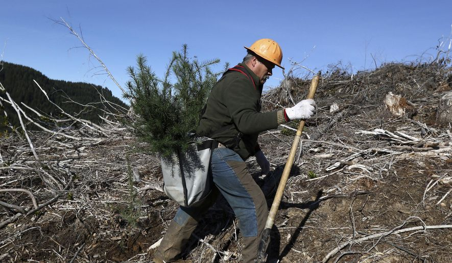 Lone Rock land management crew member Cristobal Carrion plants two-year-old Douglas fir seedlings in a section of the Callahan Mountains west of Roseburg, Ore. on Friday Jan. 27, 2017. The Cow Creek Band of Umpqua Tribe of Indians teamed up with Lone Rock Timber Management Company to create the sole proposal to buy 82,500 acres of the Elliott State Forest from the state of Oregon.  (Michael Sullivan/The News-Review via AP)