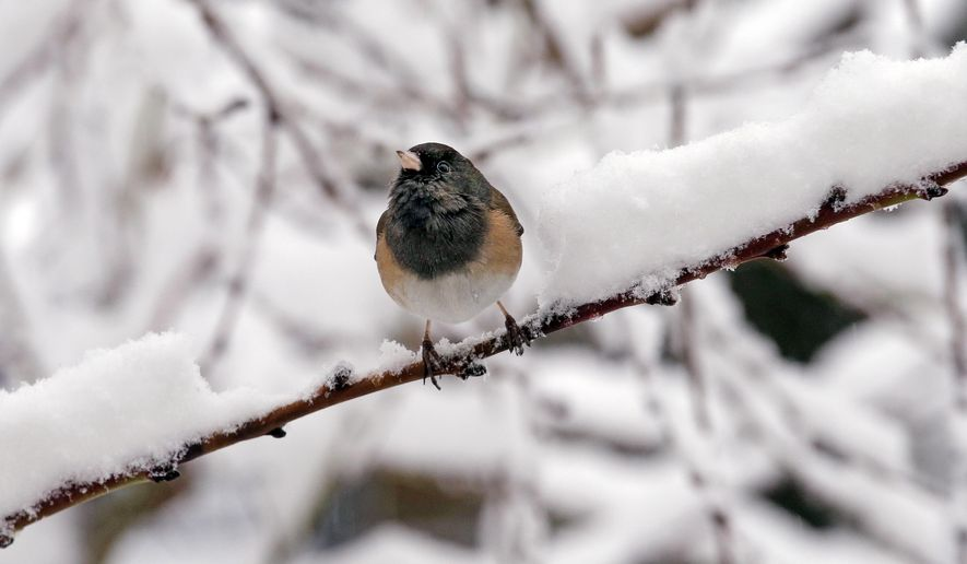 A dark-eyed junco finds room on an otherwise snow-covered branch during a winter storm moving through the area, Monday, Feb. 6, 2017, in Seattle. Seattle finally got its dose of winter weather, with an overnight storm that left snow totals of an inch to more than a foot across western Washington, causing widespread school closures Monday. More than 75,000 Puget Sound Energy and Seattle City Light customers were without power. A winter storm warning remains in effect for the greater Puget Sound Metro area. (AP Photo/Elaine Thompson)