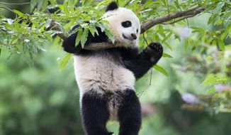 Panda cub Bao Bao hangs from a tree in her habitat at the National Zoo in Washington in Washington, in this Aug. 23, 2014, file photo. The National Zoo says 3-year-old panda Bao Bao is heading to China this month. The zoo tweeted Monday, Feb. 6, 2017, that Bao Bao will fly to China on Feb. 21. The zoo recently announced a celebration of Bao Bao starting Feb. 16 in anticipation of her departure. (AP Photo/Pablo Martinez Monsivais, File)