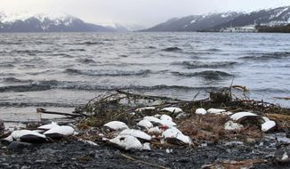 FILE - In this Jan. 7, 2016 file photo, dead common murres lie washed up on a rocky beach in Whittier, Alaska. A year after tens of thousands of common murres, an abundant North Pacific seabird, starved and washed ashore on beaches from California to Alaska, researchers have pinned the cause to unusually warm ocean temperatures that affected the tiny fish they eat.(AP Photo/Mark Thiessen, File)