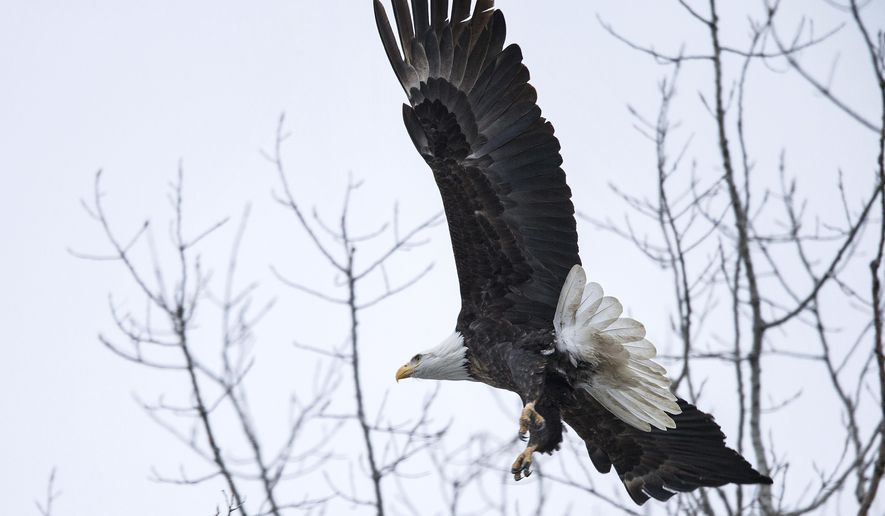 In this Thursday, Feb 9, 2017 photo, a bald eagle takes flight at Lake Manawa in Council Bluffs, Iowa. Once near extinction, the bald eagle population is seeing a spike in eastern Nebraska and western Iowa. (Rebecca S. Gratz/Omaha World-Herald via AP)