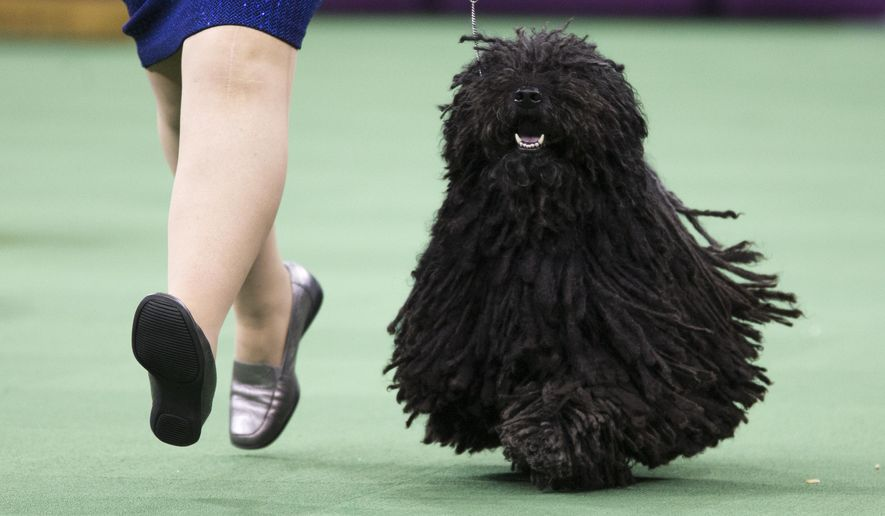 FILE - In this Monday, Feb. 15, 2016, file photo, Preston the puli, competes in the ring during the Herding group competition during at 140th Westminster Kennel Club dog show, at Madison Square Garden in New York. Be it a boerboel or basenji, a Swedish vallhund or Norwegian elkhound, all eyes in dogdom will be on Madison Square Garden for the 141st Westminster Kennel Club. Preston is guaranteed to get off to a good start when the show begins Monday, Feb. 13, 2017. He's the only puli entered, assuring him a spot in the herding group final later that night. (AP Photo/Mary Altaffer, File)